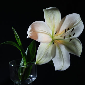 White lily in glass